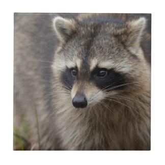 Raccoon Procyonlotor, Florida, USA 1 Kakelplatta