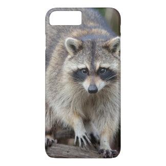 Raccoon Procyonlotor, Florida, USA 2