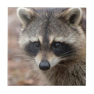 Raccoon Procyonlotor, Florida, USA 3 Kakelplatta