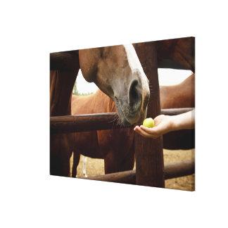 Räcka att mata en häst en apple. canvastryck
