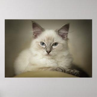 Ragdoll kattungekanfas print