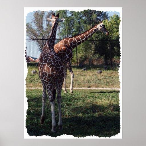 Reticulated giraffkanvastryck posters