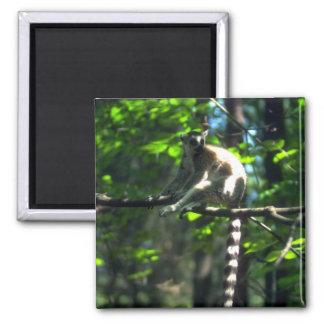 Ring-Tailed Lemur i träd Magnet