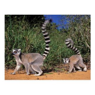 Ring-Tailed Lemurs (lemuren Catta), Berenty Vykort