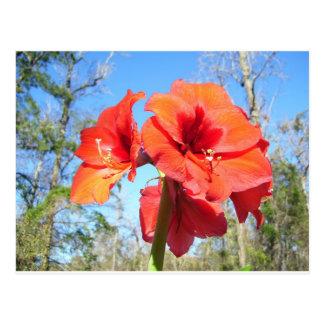 Röd Amaryllis med blå himmel Vykort
