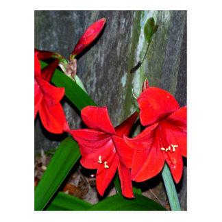 Röd Amaryllis vid ett gammalt staket Vykort