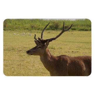 Röd hjortfullvuxen hankronhjort magnet
