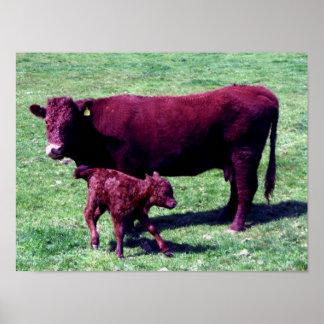 Röd ko för södra Devon Ruby och barnkalv Poster