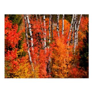 Röd lönn (Acer Rubra) och aspen Vykort