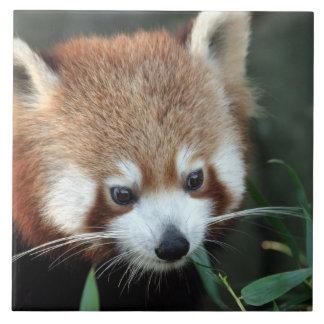 Röd Panda, Taronga Zoo, Sydney, Australien Kakelplatta
