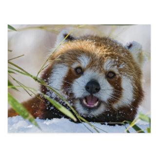 Röd Panda Vykort