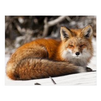 Röd räv i snön vykort