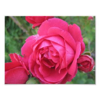 Röd roskonsttryck fototryck