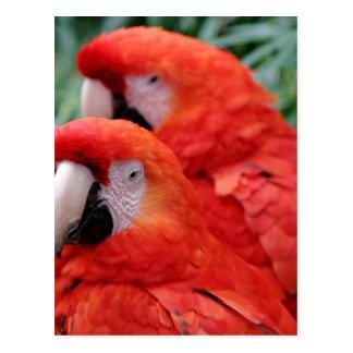 Röd scharlakansröd Macaw Vykort