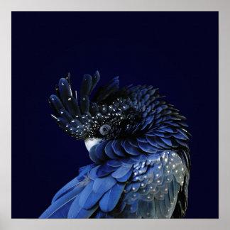 Röd-Tailed svart kakadua i blått Poster