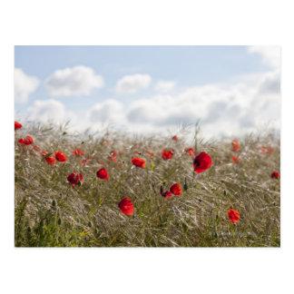 Röd vallmo, Picardy, Somme, Pont Remy Vykort