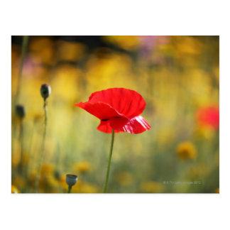 Röd vallmo vykort