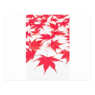 Röda Acer löv på vitbakgrund Vykort