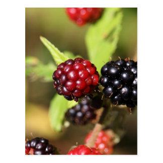 Röda och svart björnbärfruits. vykort