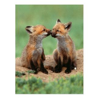 Röda rävar för baby vykort