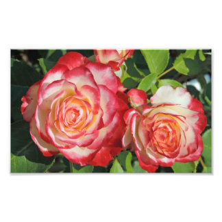 Röda vit ros fototryck
