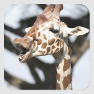 Rolig vänd mot reticulated giraff, San Francisco Fyrkantigt Klistermärke