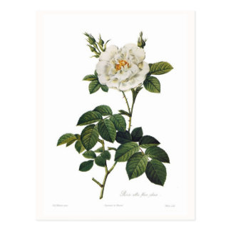 Rosa alba floreövertryck vykort