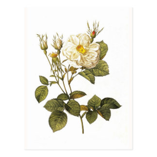 Rosa alba foliacea vykort