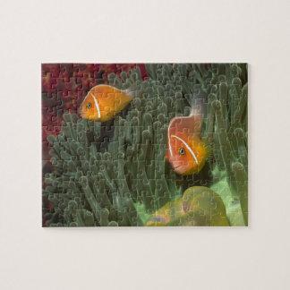 Rosa Anemonefish i Magnificant havsanemon Pussel