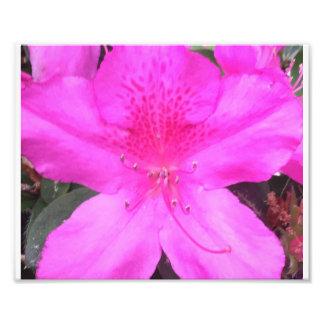 Rosa azalea fototryck