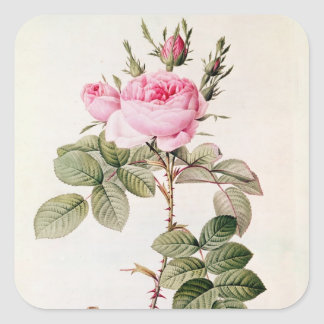 Rosa Bifera Officinalis, från 'Les ro Fyrkantigt Klistermärke