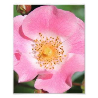 Rosa blom- tryck - blomma fototryck