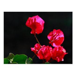 Rosa bougainvilleas vykort