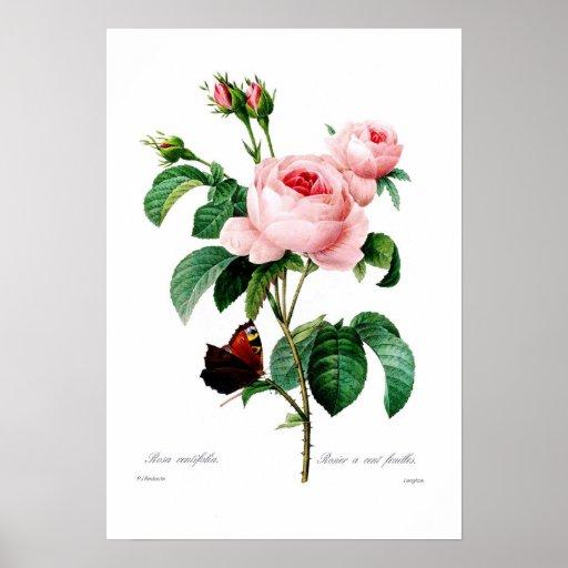 Rosa centiflora affisch