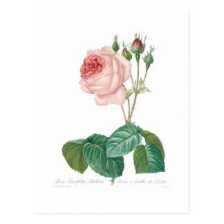 Rosa centifoliabullata vykort