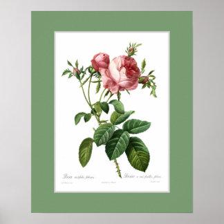 Rosa centifoliafoliacea, beställnings- gräns poster