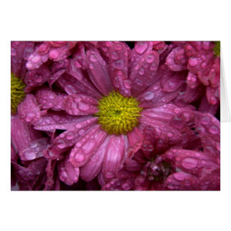 Rosa Chrysanthemum med Raindrops OBS Kort