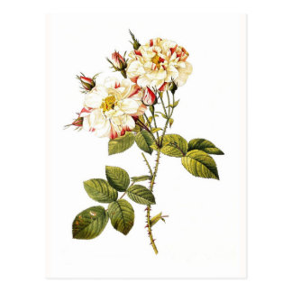 Rosa damascenavariegata vykort