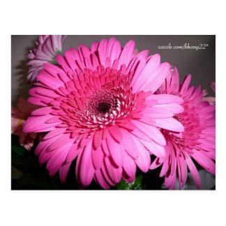 rosa gerberdaisy vykort