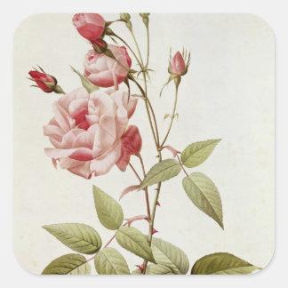 Rosa Indica Vulgaris, från 'Les ro Fyrkantigt Klistermärke