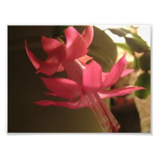 Rosa julkaktusblomma fototryck