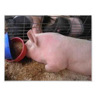 Rosa lägga för gris besegrar vid matskålen fotografiska tryck
