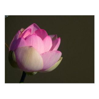 Rosa lotusblomma vykort