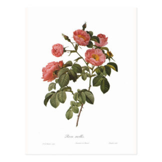 Rosa mollis vykort