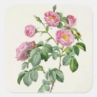 Rosa Mollissima, från 'Les ro Fyrkantigt Klistermärke