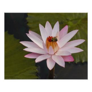 Rosa näckros med biet fototryck