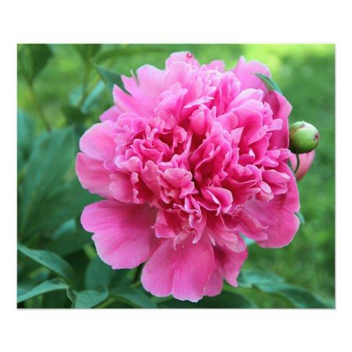 Rosa pion fotografiskt tryck