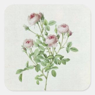 Rosa Pomponia, från 'Les ro Fyrkantigt Klistermärke