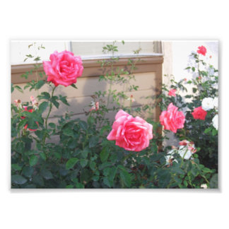 Rosa ros i vår av Julia Hanna Fototryck