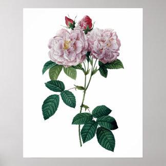 Rosa ros vid Redoute det högvärdiga kvalitets- Poster